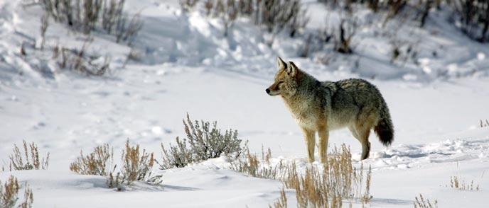 688_18345d_coyote